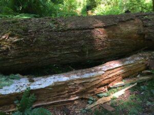 Fallen Brother Doug Fir, McKenzie River Trail, 2021